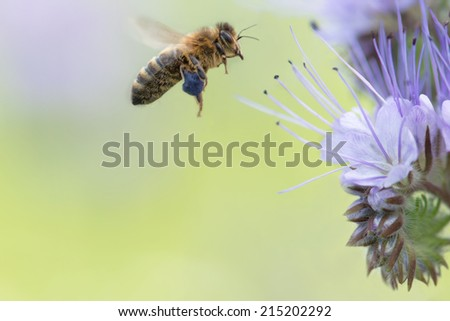 A Bee flying towards the Phacelia Tanacetifolia flower to collect pollen - stock photo