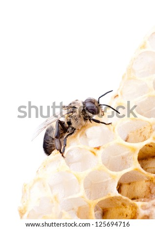 a bee on a honeycell, isolated on white - stock photo