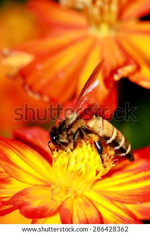 A bee on sunflower - stock photo