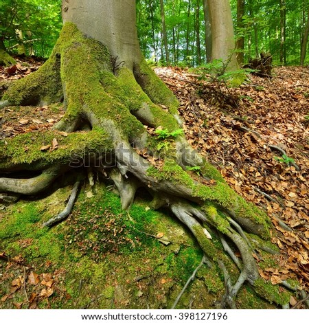 A beech tree forest in Germany - stock photo