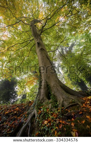 A beech tree in autumn at Shifnal, Shropshire, England.