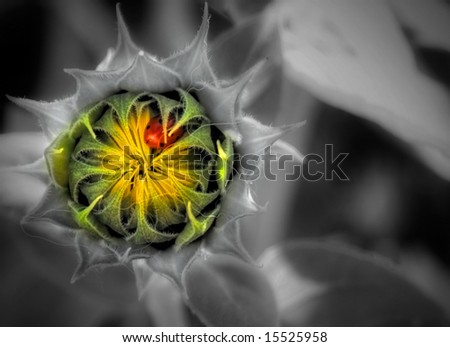 A beetle sleeping in a sunflower. - stock photo