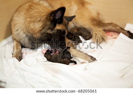 a Belgian Shepherd bitch taking care of her newborn puppy - stock photo