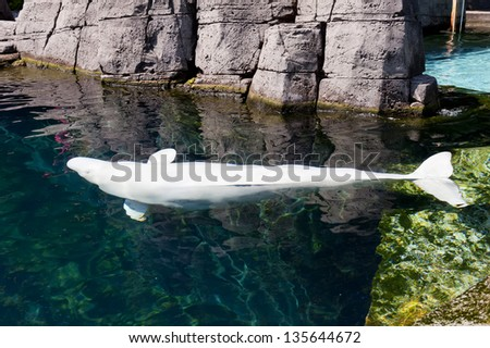 A Beluga white dolphin portrait - stock photo