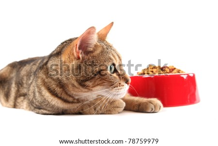 A bengal cat patiently waiting to eat his food.