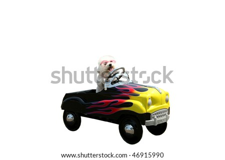 a bichon frise dog drives her hot rod pedal car around town isolated on white with room for your text or images - stock photo
