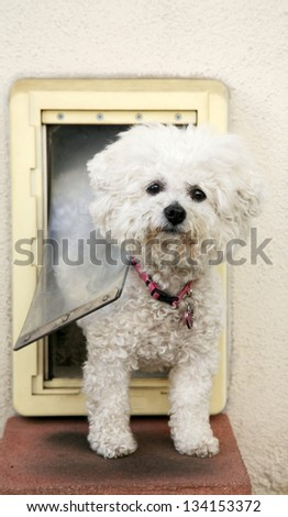 A Bichon Frise dog Smiles as she goes through her Dog Door - stock photo