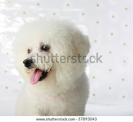 a bichon frise fresh from a bath models for the camera - stock photo