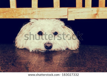 A Bichon Frise or mix breed dog  gazes longingly with his head resting between a barrier gate and the floor.  Processed for an aged vintage retro look.    - stock photo
