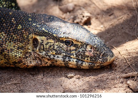 A big adult iguana relaxing in Zanzibar - stock photo