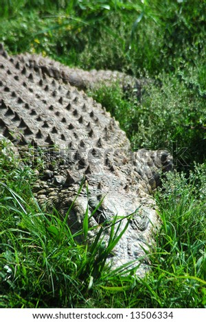 A big African crocodile head portrait lying in the high grass and hiding while looking out for food in a game park in South Africa - stock photo