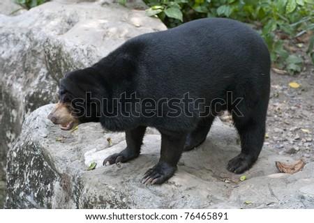 A big black bear - stock photo