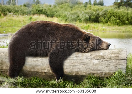A big brown bear looks very relaxed, straddling a log and sleeping. - stock photo