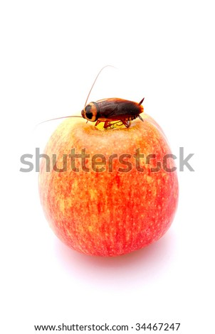 A big brown cockroach sitting and eating on a red apple (focus on cockroach). Image isolated on white studio background. - stock photo