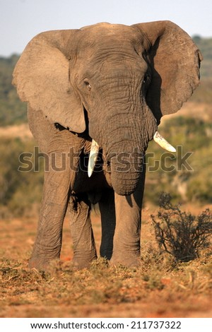 A big bull elephant in this portrait. - stock photo