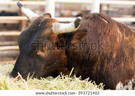 A big bull works on the hay bales for breakfast - stock photo