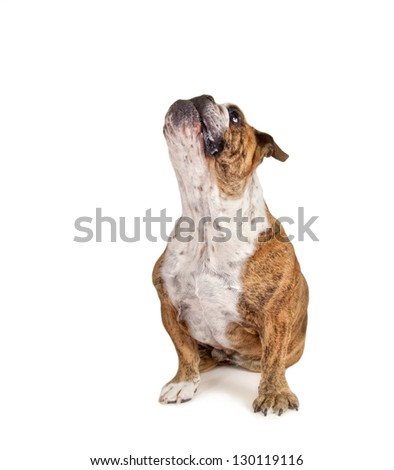 a big bulldog begging - stock photo