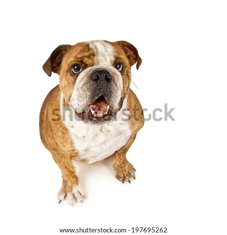 a big bulldog begging - stock photo