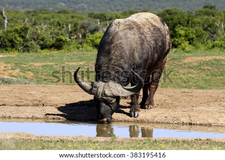 A big Cape Buffalo bull drinks water. South Africa - stock photo