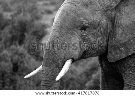 A big elephant bull walks through an open grassland in this image.South Africa - stock photo