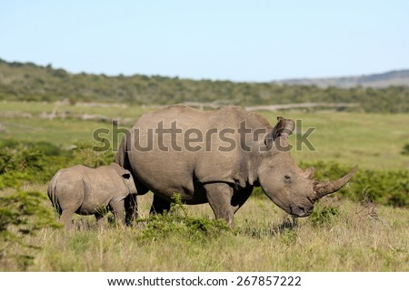 A big female white rhino / rhinoceros and her baby calf. The young rhino / rhinoceros is suckling milk.South Africa. - stock photo