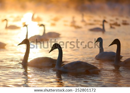 A big group of wild swans swimming in a winter lake on a sunset and some ducks on a background. Siberia, Russia. - stock photo