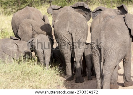 A big herd of elephants in the wild   Tanzania - stock photo