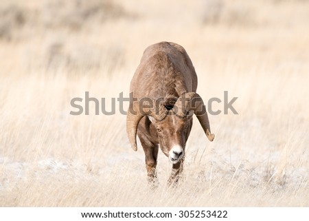 A big horn sheep ram approaches photographer with his head down; full curl; full body shot; stalking - stock photo