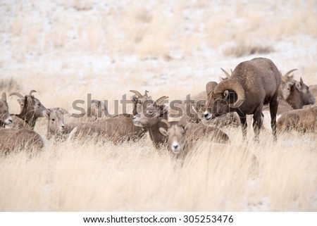 A big horn sheep ram in pursuit of a female - stock photo