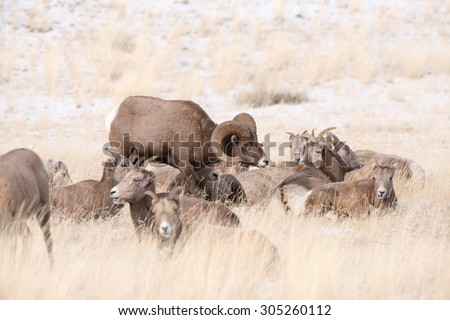 A big horn sheep ram standing in the middle of some ewes with his head down as he stalks the band for a female  - stock photo