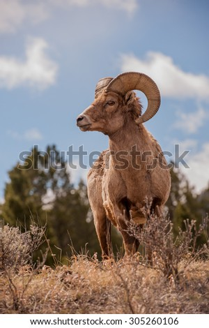 A big horn sheep ram standing on a hillside looking left; blue sky and clouds in the background - stock photo
