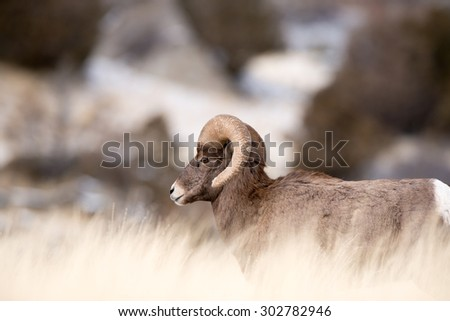 A big horn sheep ram walking from the right to the left of the frame through tall grass - stock photo