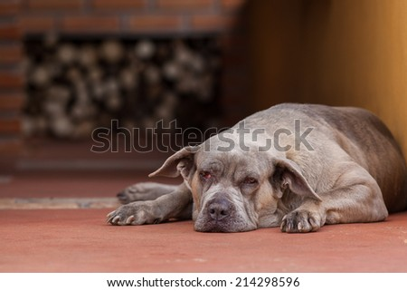 A big lazy dog almost sleeping on the floor