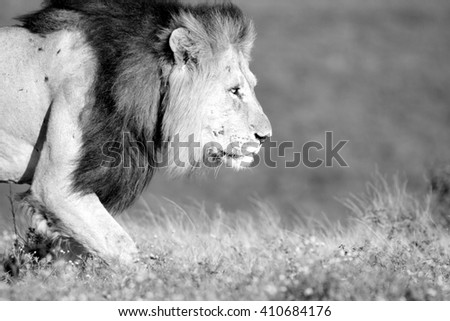 A big male lion walks past our vehicle while on safari in Africa. He was hunting. - stock photo