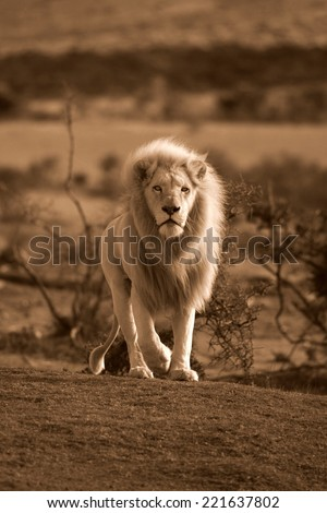 A big male white lion approaches in this sepia tone image. - stock photo