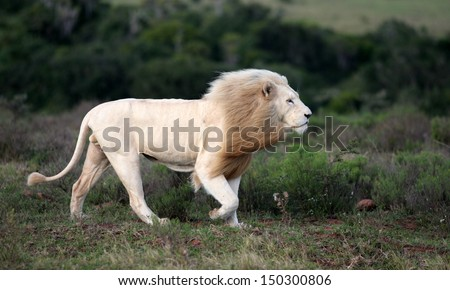 A big male white lion walks past our vehicle while on safari in Africa. He was hunting. - stock photo