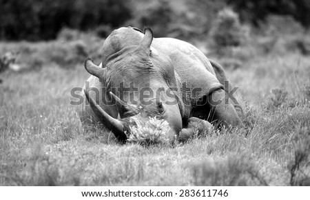 A big male white rhino / rhinoceros sleeping in this black and white image - stock photo