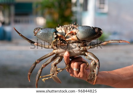 a big mangrove crab in the hand