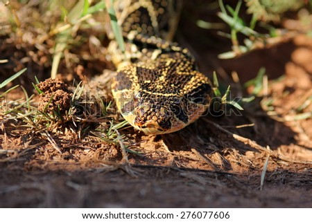A big Puff Adder snake photographed in South Africa. Golden sun on its colorful body - stock photo