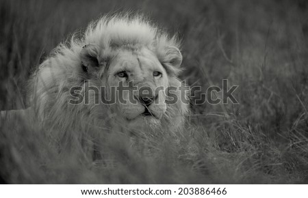 A big pure white male lion in this black and white photo taken on safari in Africa. - stock photo