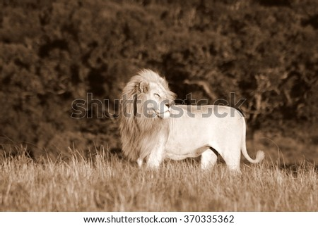 A big pure white male lion in this photo taken on safari in South Africa. - stock photo