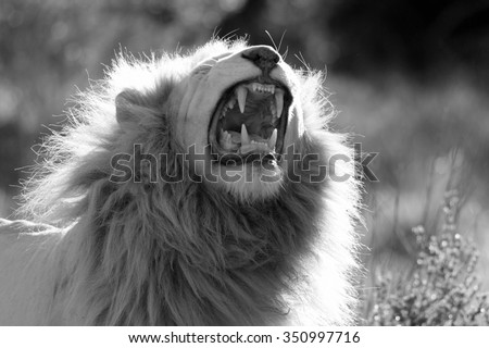 A big pure white male lion showing his teeth in this photo taken on safari in Africa. - stock photo