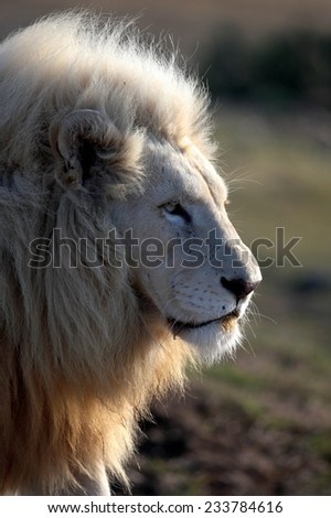 A big pure white male lion with backlight through his mane in this sepia tone photo taken on safari in Africa. - stock photo