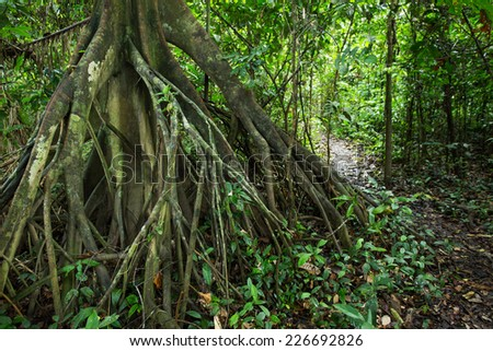 A big root of tree in  the Amazon forest. - stock photo