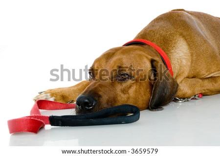 A big sleepy dog lying down on studio floor with collar and lead - stock photo