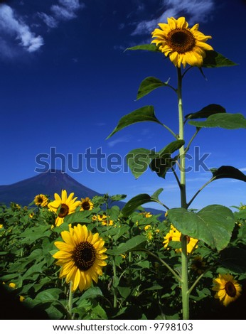 A big sun flowers field near Mount Fuji - stock photo