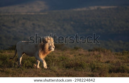 A big white male lion lying in the grass in South Africa - stock photo