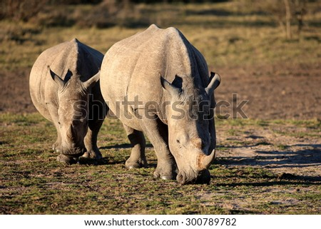 A big white rhino / rhinoceros with another rhino in the background. - stock photo