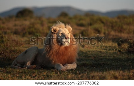 A big wild male white lion with the first of the sun on his face. Sunrise, South Africa. - stock photo