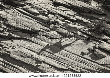 A bighorn sheep casts a petroglyph-like shadow over the textured sandstone in Zion National Park, Utah, USA. - stock photo